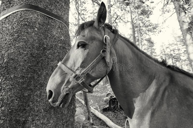 Horse hitched to a tree, black and white stock photo