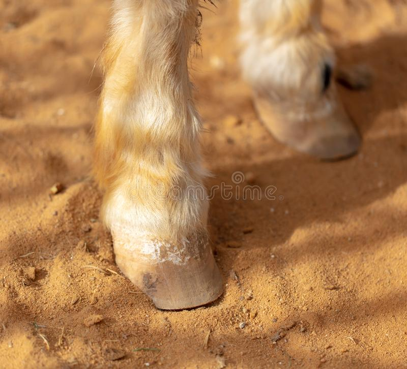 Horse hoof on sand in a zoo stock photo