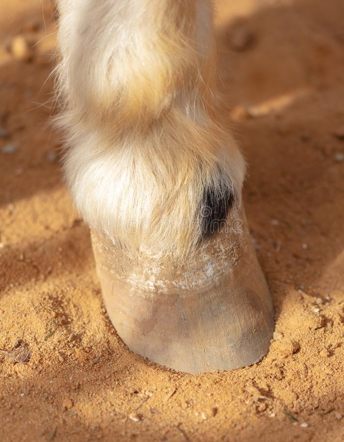 Horse hoof on sand in a zoo stock photography