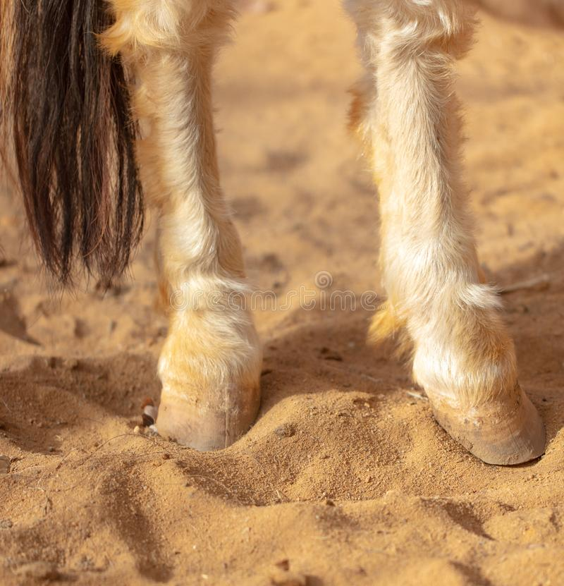 Horse hoof on sand in a zoo stock images