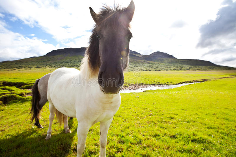 Download Horse in Iceland stock photo. Image of islands, shore - 25186844