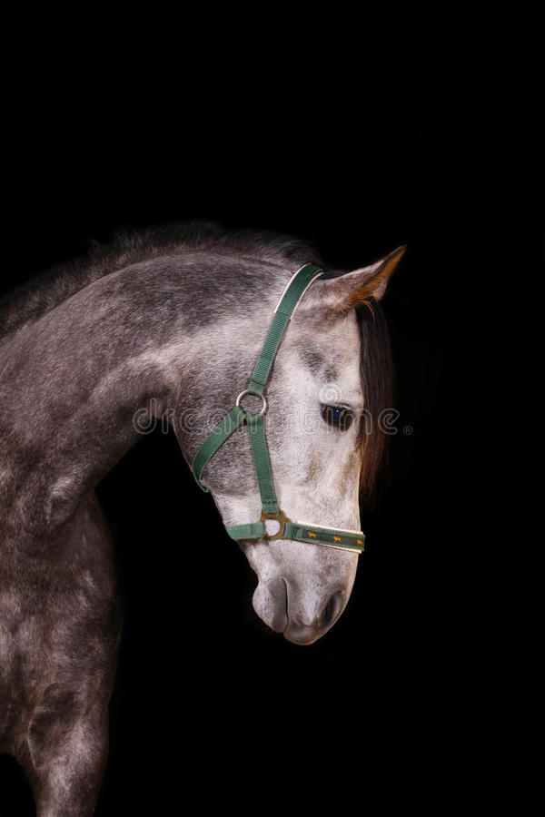 Download Horse indoors, on black stock image. Image of horsepower - 12965807
