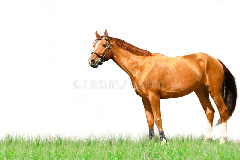 Download Horse isolated stock image. Image of outdoors, competition - 6387689