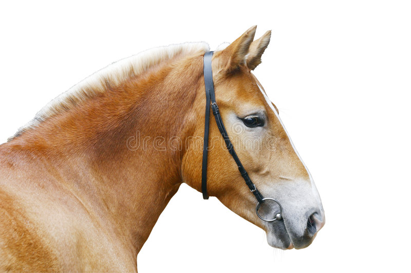 Download Horse isolated stock photo. Image of equestrian, stallion - 6632852