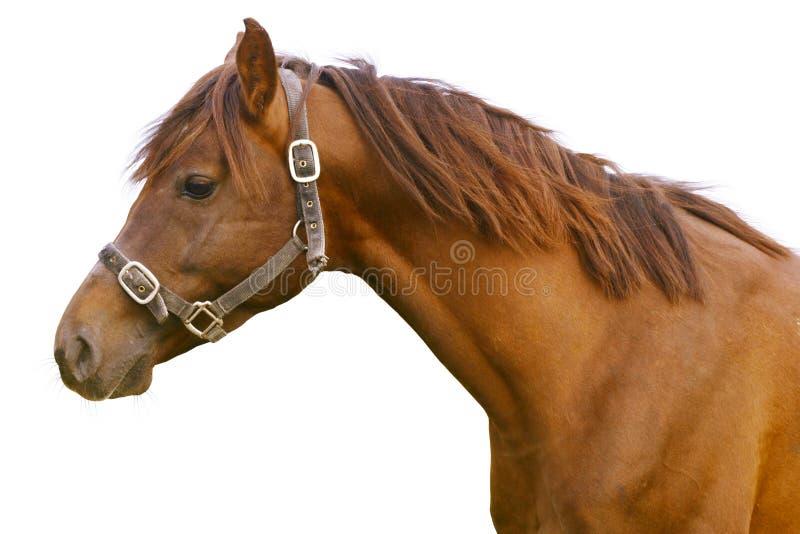 Horse isolated on white royalty free stock image