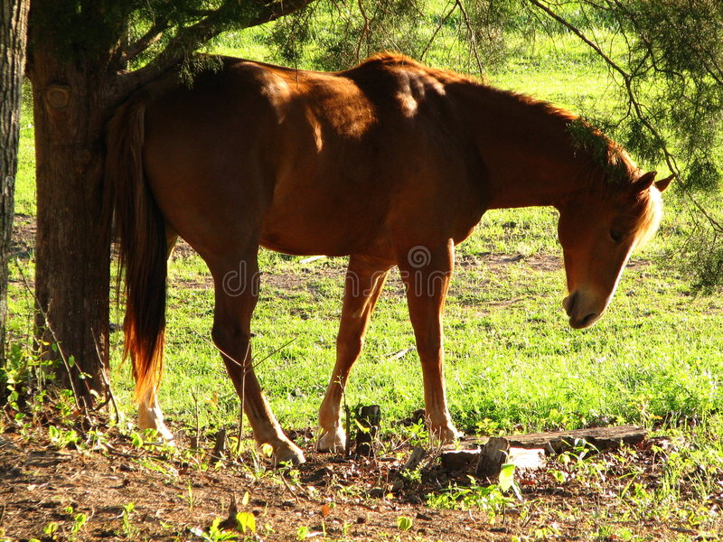 A Horse With An Itch. A beautiful brown horse rubbing his rear against a tree to scratch an itch royalty free stock photo