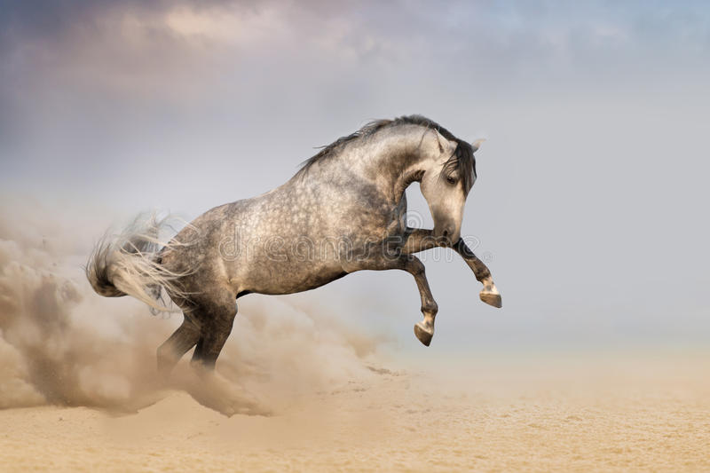 Horse jump in desert with dust. Beautifyl grey horse galloping in desert sand at sunset stock image
