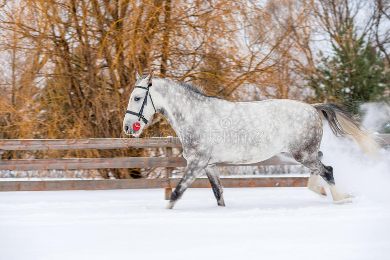 A horse jumps into an apple in the snow stock image