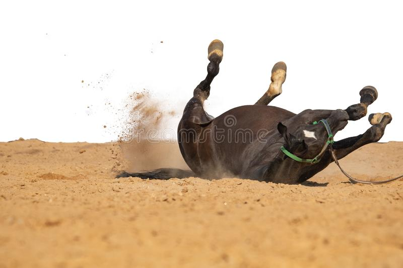 Horse jumps on sand on a white background. Brown and black horse galloping on sand on a white background, without people.nn royalty free stock images