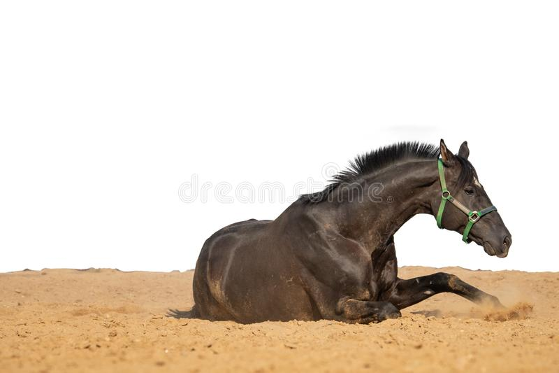 Horse jumps on sand on a white background. Brown and black horse galloping on sand on a white background, without people.nn royalty free stock photos
