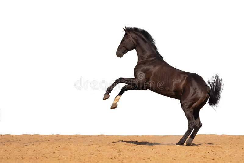 Horse jumps on sand on a white background. Brown and black horse galloping on sand on a white background, without people.nn royalty free stock photography
