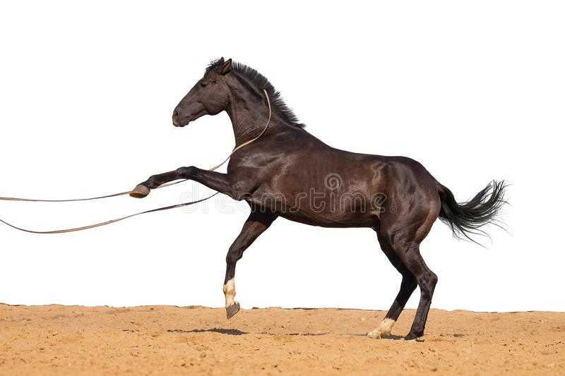 Horse jumps on sand on a white background. Brown and black horse galloping on sand on a white background, without people.nn royalty free stock photo