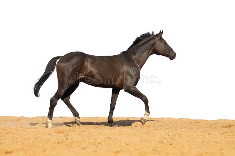 Horse jumps on sand on a white background. Brown and black horse galloping on sand on a white background, without people.nn stock image