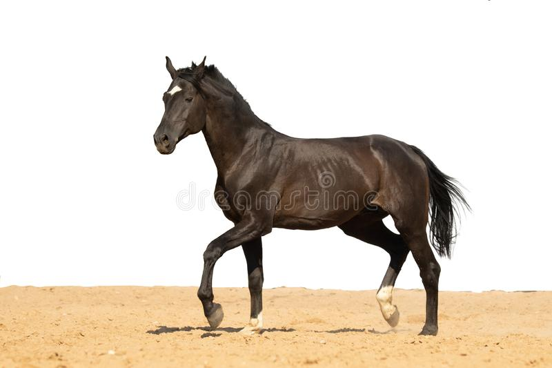Horse jumps on sand on a white background royalty free stock photo
