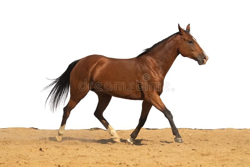 Horse jumps on sand on a white background. Brown horse galloping on sand on a white background, without people.nn stock photos
