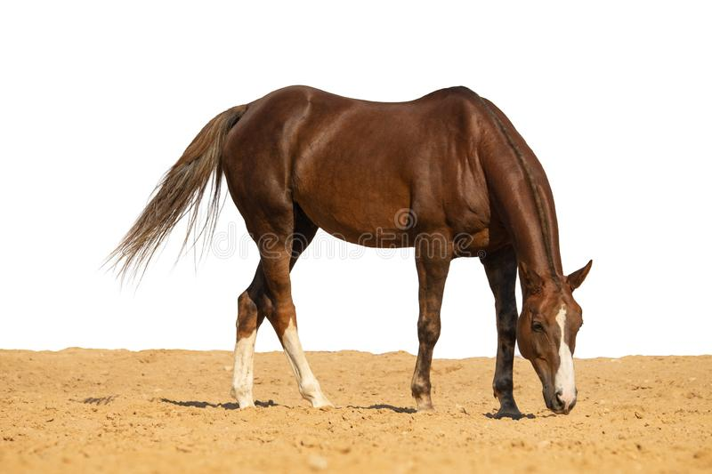 Horse jumps on sand on a white background. Brown horse galloping on sand on a white background, without people.nn royalty free stock photography