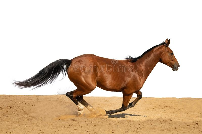 Horse jumps on sand on a white background. Brown horse galloping on sand on a white background, without people.nn stock photo