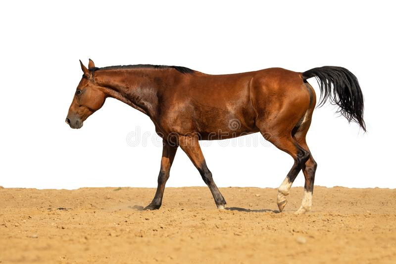 Horse jumps on sand on a white background. Brown horse galloping on sand on a white background, without people.nn royalty free stock image