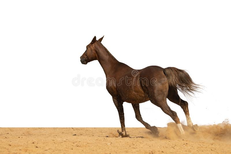 Horse jumps on sand on a white background. Brown and red horse galloping on sand on a white background, without people stock image
