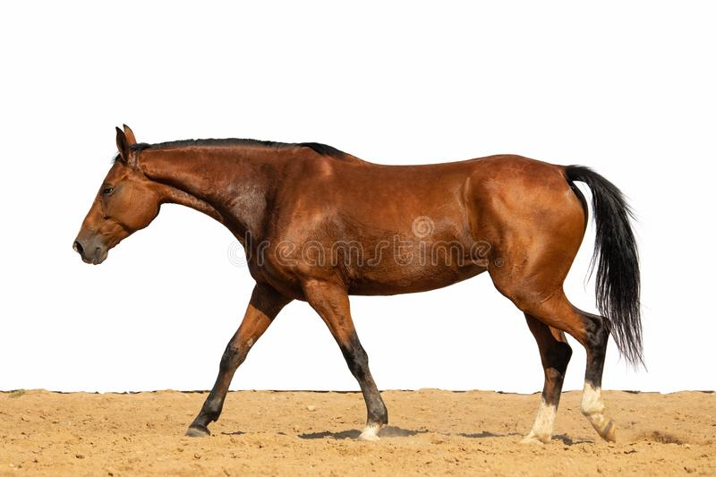 Horse jumps on sand on a white background. Brown and red horse galloping on sand on a white background, without people royalty free stock photos