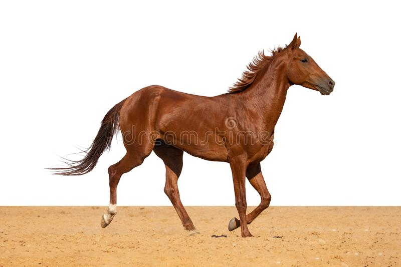 Horse jumps on sand on a white background. Brown and red horse galloping on sand on a white background, without people royalty free stock photography