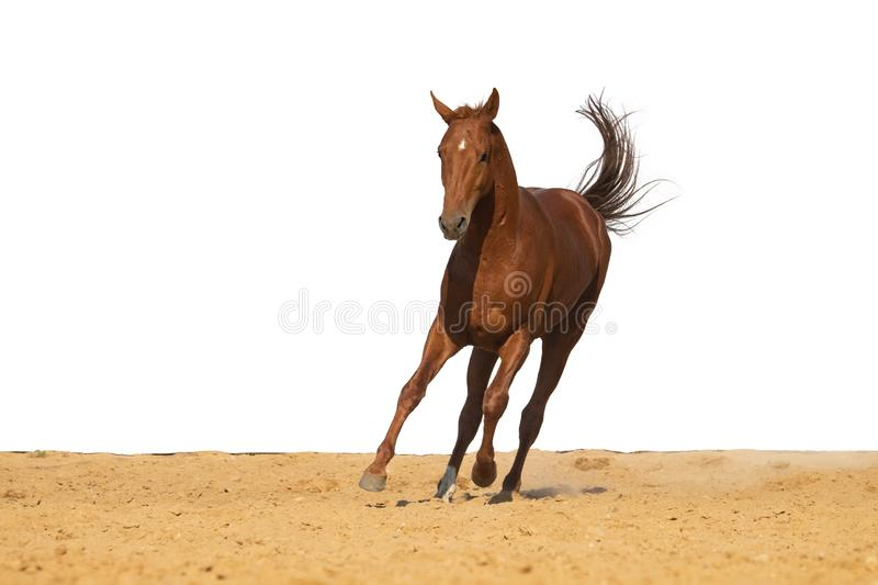 Horse jumps on sand on a white background. Brown and red horse galloping on sand on a white background, without people stock photography