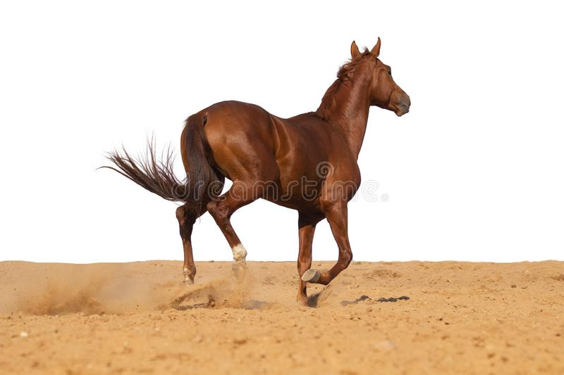 Horse jumps on sand on a white background. Brown and red horse galloping on sand on a white background, without people stock photo