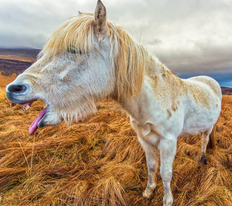 Horse Laugh stock image