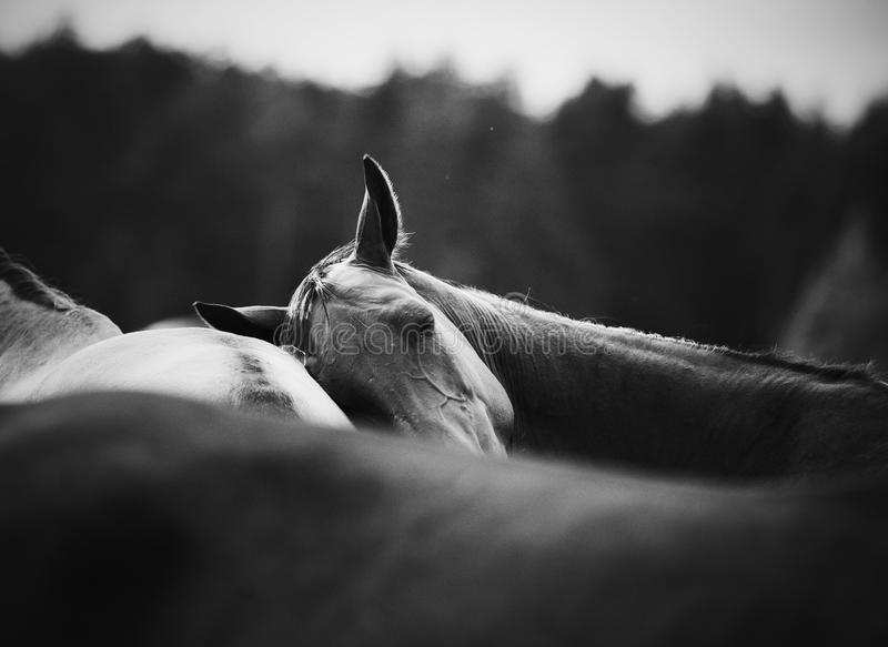 Horse leaning on another one funny moment royalty free stock photos