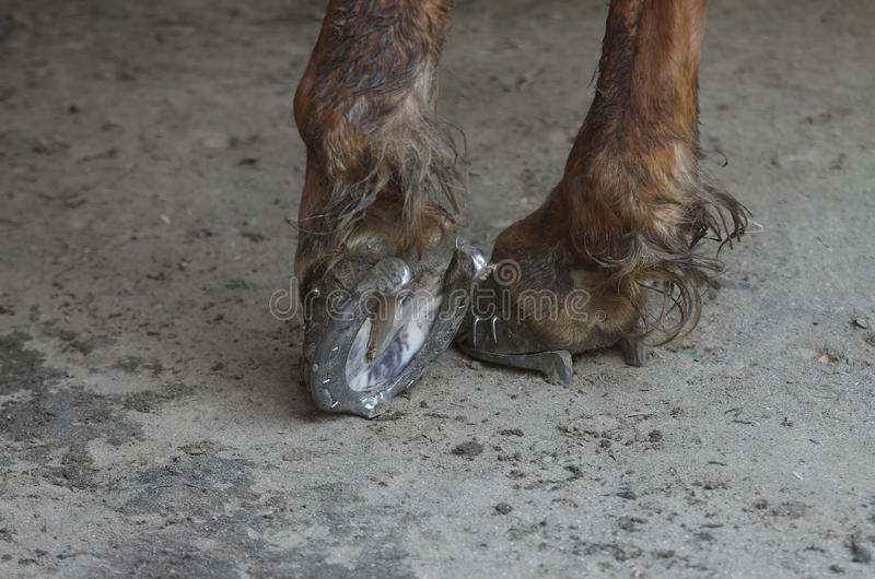 Horse legs. Detail of horse legs with horseshoe stock images