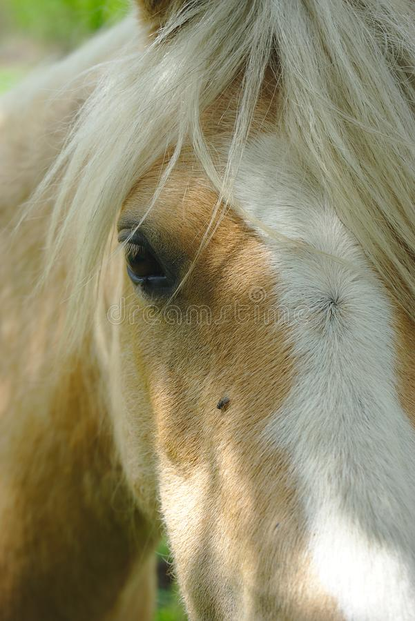 Brown horse look. Horse look at the white mane royalty free stock image