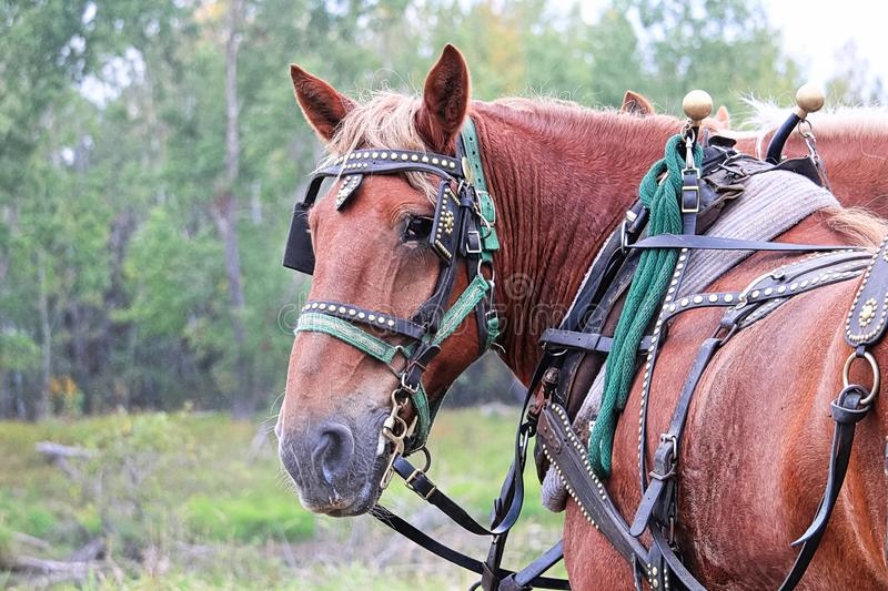 A horse looking back while harnessed up stock image