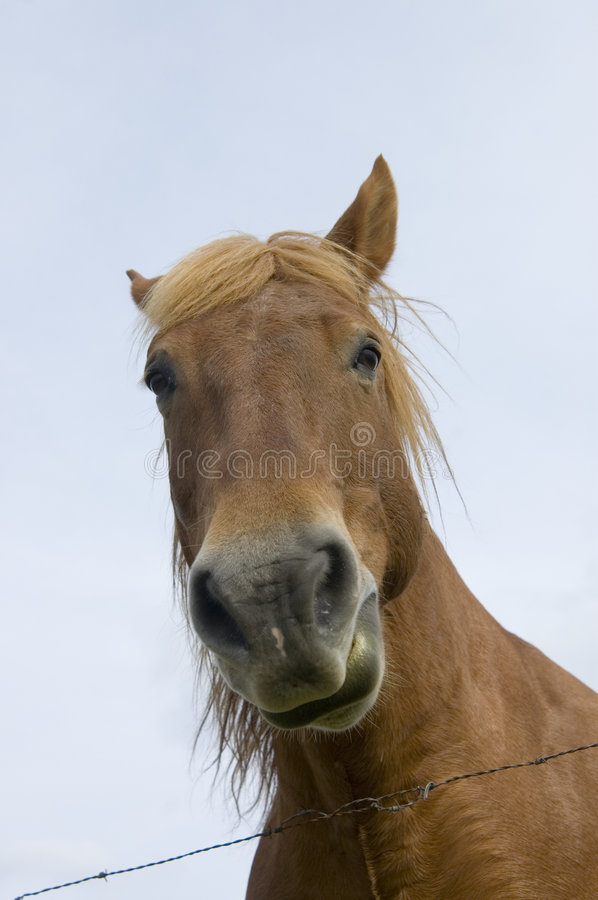 Horse looking firectly at camera with blue sky and barbed wire stock images