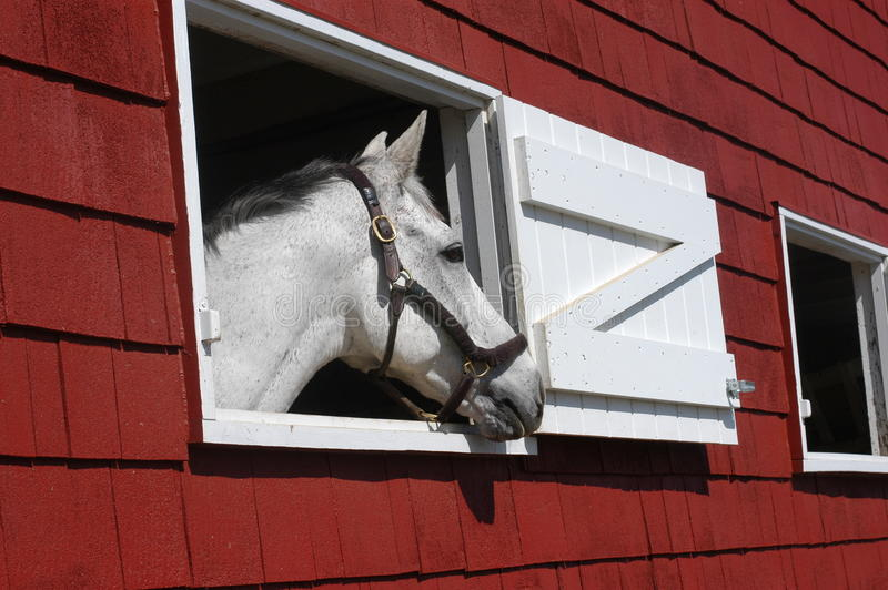 White horse looking out window of red barn stock photo for Window horses