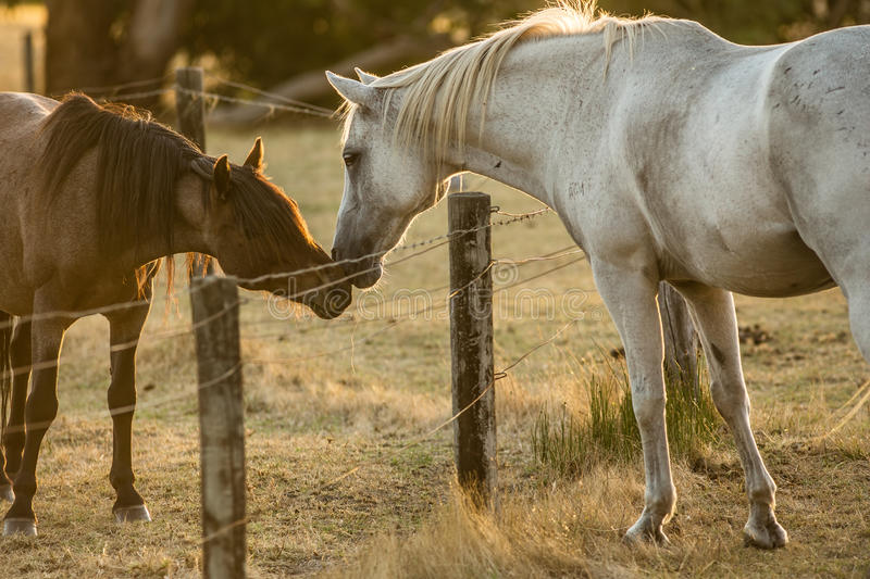 Horse love. A brown and a white horse show each other affection during sunset royalty free stock photos
