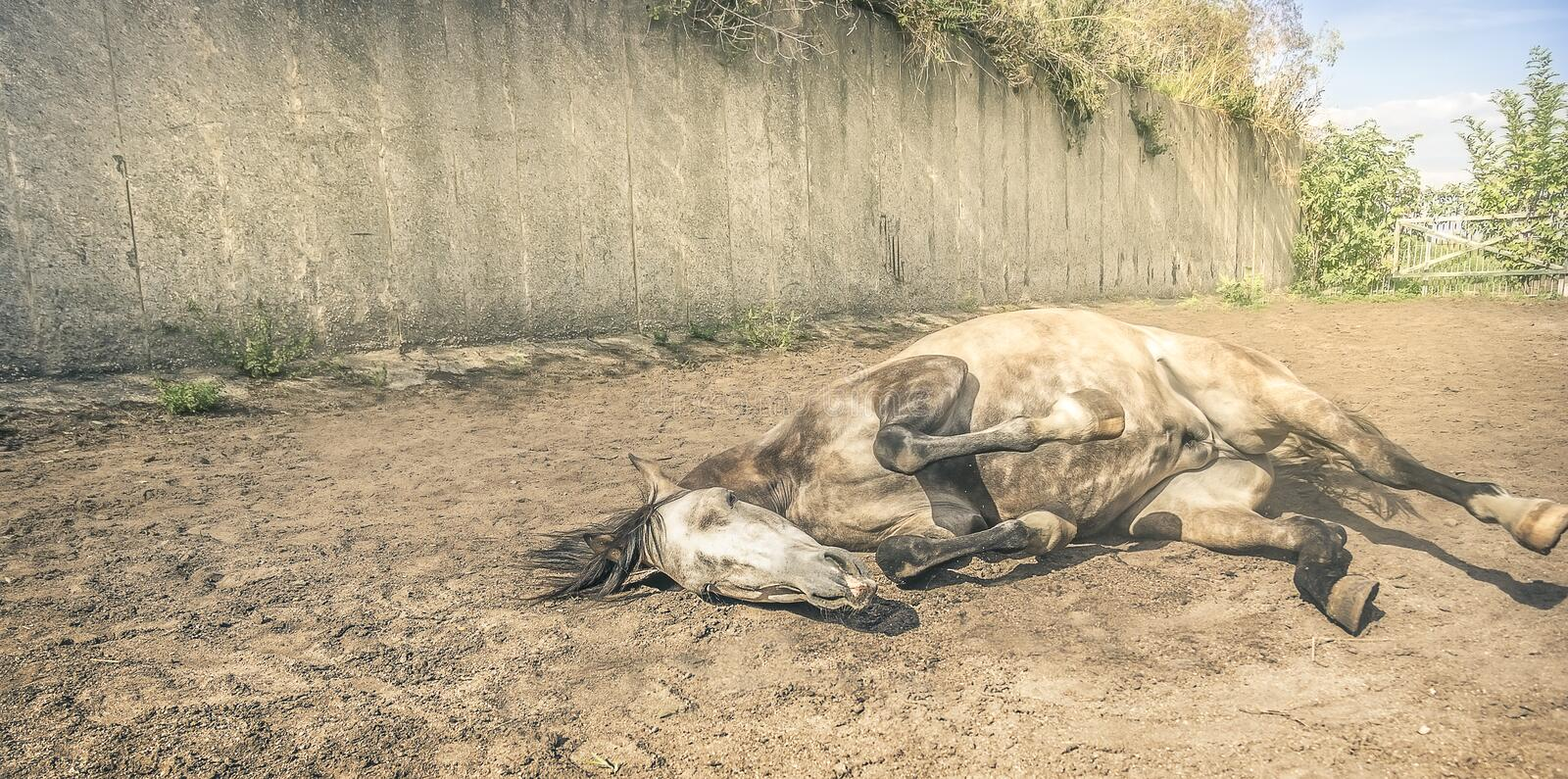 Horse lying in yard sand, toned royalty free stock images