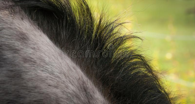 Horse Mane - Close-Up. Close-up image of a black horse mane on a grey mare and a nice green contrasting background royalty free stock images