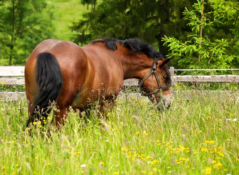 Horse on the meadow. Horse grazing and taking rest on the green meadow stock photos