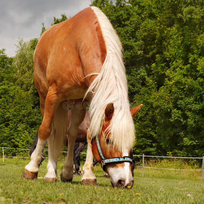 Grazing Horse Meadow royalty free stock photos