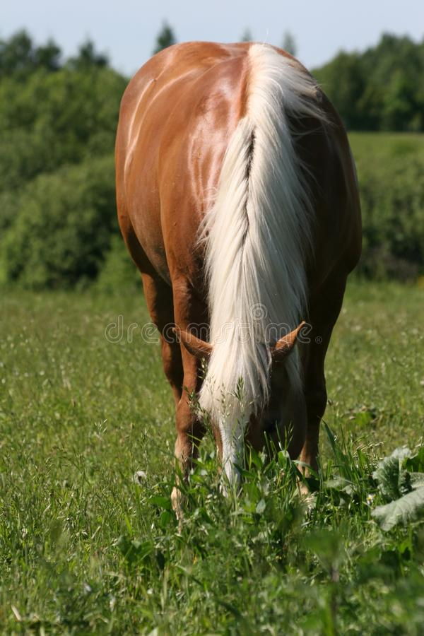 Horse on the Meadow lane to royalty free stock photo