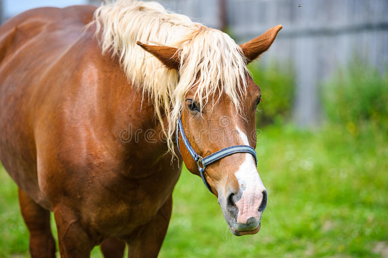 Horse in meadow. Meadow grazing horse stock image