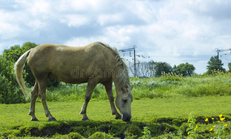 Horse milky white color grazes on pasture. Horse milky white color. Domestic animal horse grazes on pasture. Rural landscape with herd horse in meadow under royalty free stock photo