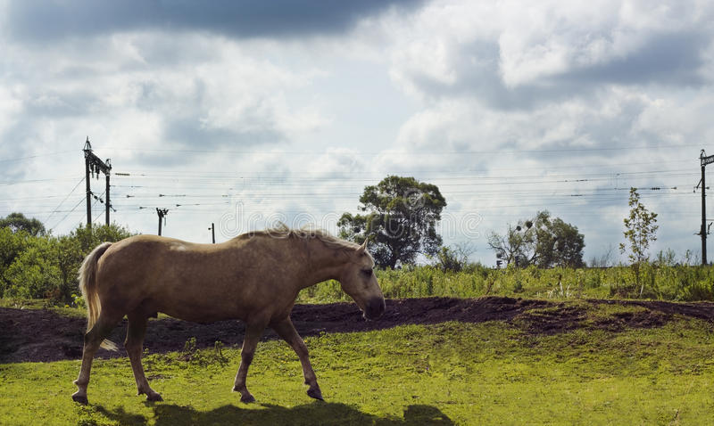 Horse milky white color grazes on pasture. Horse milky white color. Domestic animal horse grazes on pasture. Summer rural landscape with horse in meadow under stock photo