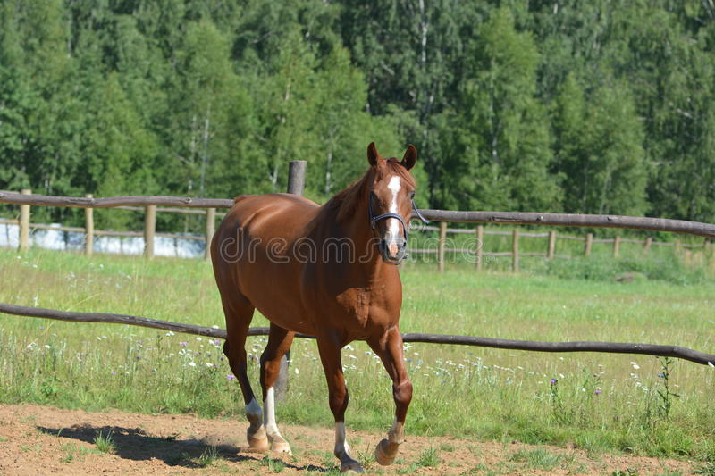 Horse in motion portrait stock photography