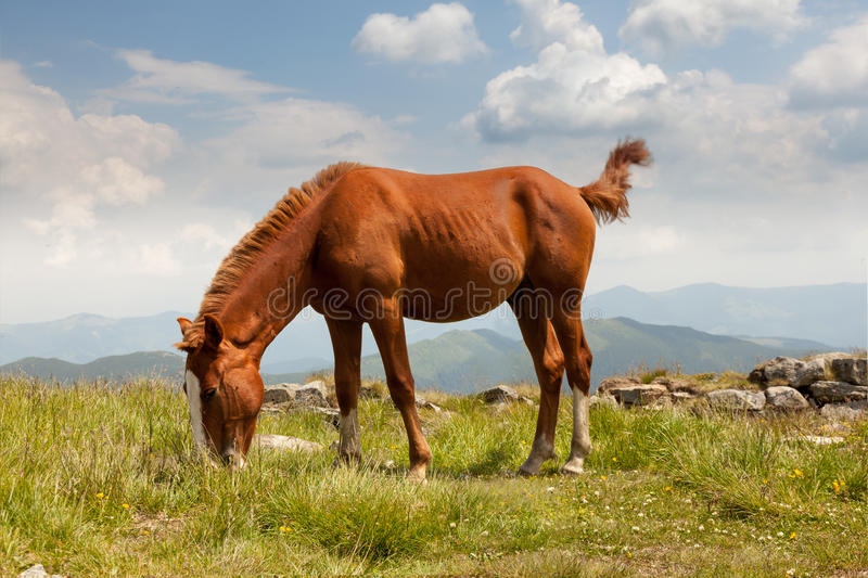 Horse on mountain meadow stock photography