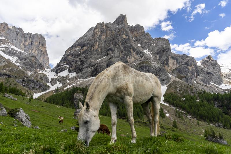 Horse on a mountain pasture. Val Rosalia, Dolomites, Italy stock image