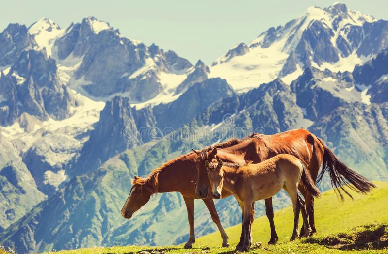 Horse in mountains royalty free stock photo