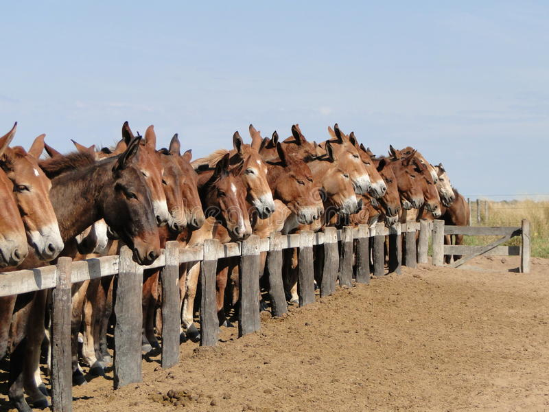 A horse among mules royalty free stock image