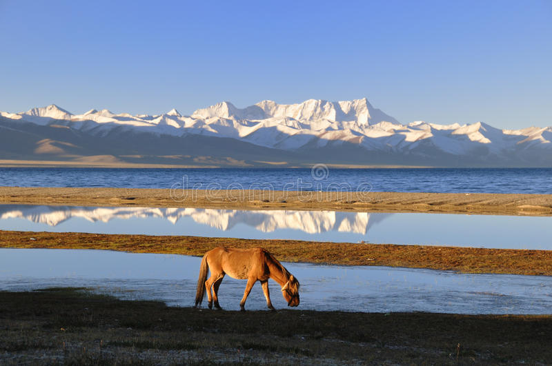 The horse of Namco Lake. (or Nam Lake), with the famous Nien-ch'ing-t'ang-ku-la Mountains's inverted image in the lake. photo at Tibet, China royalty free stock photos