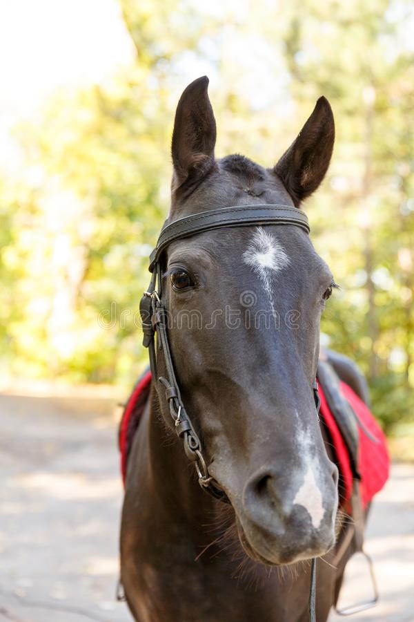 Horse on nature. Portrait of a horse, brown horse. A horse is in the nature. Portrait of a brown horse with a red saddle. A large plan royalty free stock image